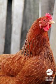 70 best chicken breeds images on pinterest chicken breeds