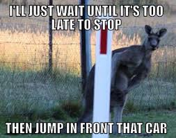 Kangaroo Meme - near miss with kangaroo last night the ebay community