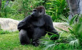 pic sea gorilla pc 13 ashx