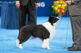 schwenksville collie competes in national show on thanksgiving day