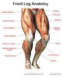 Knee Bony Anatomy Human Anatomy Topographic Anatomy Of The Leg And Knee Human Leg
