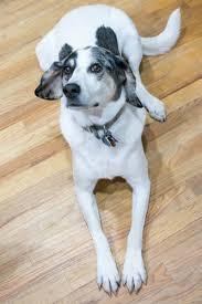 australian shepherd hound mix sophie australian shepherd humane society of dallas county