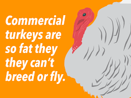 interesting facts about thanksgiving sad turkey facts business insider