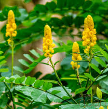 philippine herbal plants and their uses akapulko