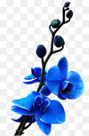 Blue Orchids Orchid Flower Png Vectors Psd And Icons For Free Download Pngtree