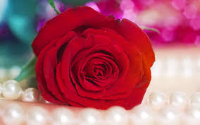 Wallpaper Flower Red Rose | red flower wallpapers high resolution natures wallpapers