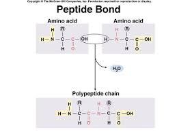peptide bond formation dehydration synthesis reaction or