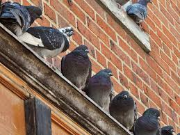 How To Scare Birds Away From Patio by How To Get Rid Of Pigeons Angie U0027s List