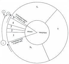 111 Lecciones Que La Vida Cell Cycle Diagram Worksheet Bio 111 Inquiry Active Learning