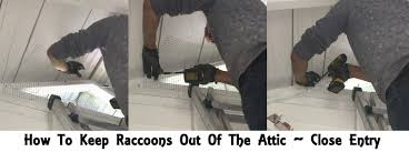 raccoon removal u2013 get rid of raccoons in your attic crawlspace