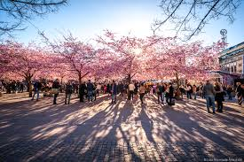 Cherry Blossom Facts by Spring Is Coming Study In Sweden The Student Blog