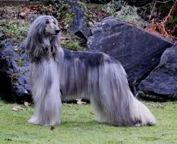 afghan hound dogs 101 afghan hound dogs breeds pets