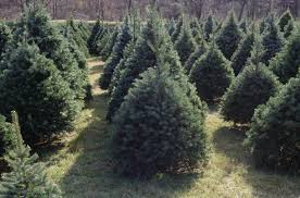 best 28 why do we cut christmas trees real christmas tree or