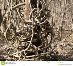 vine winding around tree royalty free stock images image 3961799