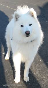 is a american eskimo dog right for me american eskimo full grown american eskimo dog pinterest