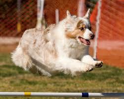 australian shepherd agility dogbreedz photo keywords california shepherd performance dog