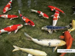 images of koi fishes koi fish meaning in is fortune
