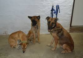 belgian shepherd health problems belgian malinois shepherd cebu kisha and her pups