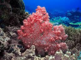 soft corals geo