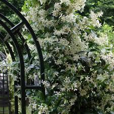 buy trachelospermum jasminoides j parker dutch bulbs