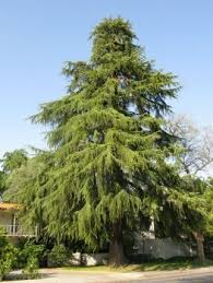 buy cedar trees the tree center