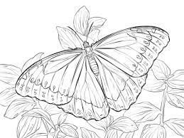 imagenes de mariposas faciles para dibujar dibujo de mariposa morfo azul para colorear dibujos para colorear