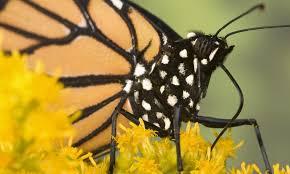 monarch butterfly species wwf