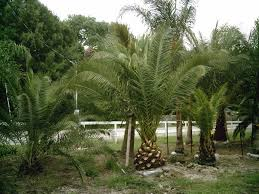 mexican fan palm growth rate palm tree information water fertilizer temperature freeze damage