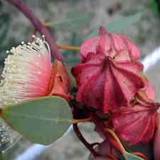 growing australian native plants from seed australian flowers eucalyptus and melaleuca recherche google