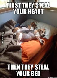 Animal In Bed Meme - dogs first they steal your heart then they steal your bed pets