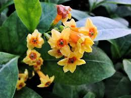 Fragrant Potted Plants - cestrum orange zest peel jasmine jessamine plant 4 inch pot
