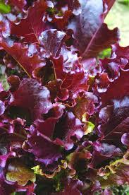 gabriella lettuce 25 days baby 50 days fully