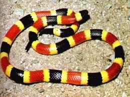 ular, ular terbesar, ular belang, ular berwarna, ular kaskus-lover.blogspot.com