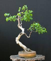 71 best bonsai betula images on birches bonsai trees
