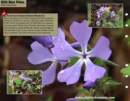native american plants used for medicine wild blue phlox medicinal plight to freedom