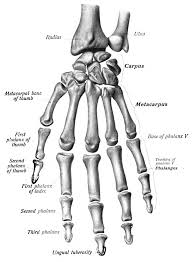 Skeletal Picture Of Foot Thumb Wikipedia