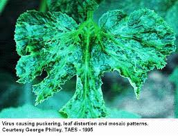 Symptoms Of Viral Diseases In Plants - cantaloupe cucumber squash pumpkin and crenshaw texas plant