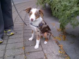 australian shepherd hair until this morning i did not know that there was such a thing as