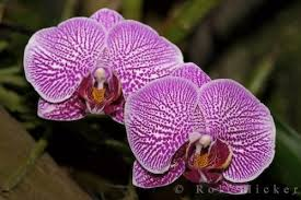 purple orchids purple orchids photo information