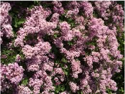 Pink Spring Flowering Shrubs - shrubs botanical r through z