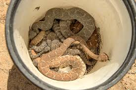 Yellow Flag With Snake Common Snakes In Orange County And How To Identify Them U2013 Orange