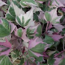 best 25 sweet potato vines ideas on potato vine