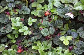 fragaria vesca f strawberry rhs gardening