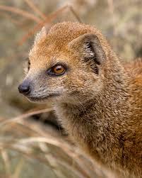yellow mongoose carnivora pinterest mongoose wild animals