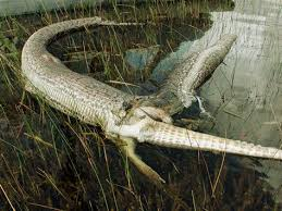 alligator claws gator guzzling python comes to end technology science