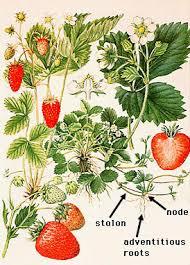 Vegetative Propagation By Roots - plant adaptations