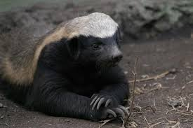 Honey Badger Meme Generator - honey badger birthday meme badger best of the funny meme