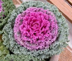 ornamental cabbage great design plant ornamental cabbage and kale