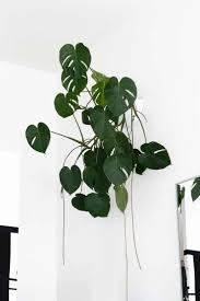 7 super low light houseplants minimalism low lights and houseplant