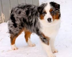 australian shepherd akc akc australian shepherd dog breeders in alaska king fisher aussies